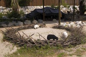 sheep and sheepfold