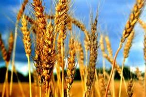 eating grain on the Sabbath